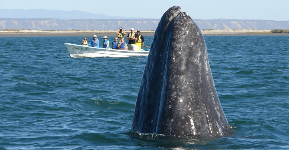 Whale petting excursions are the most popular for The Baja Bush Pilots